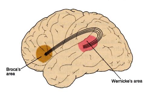 Con meno sangue al cervello arriva la balbuzie