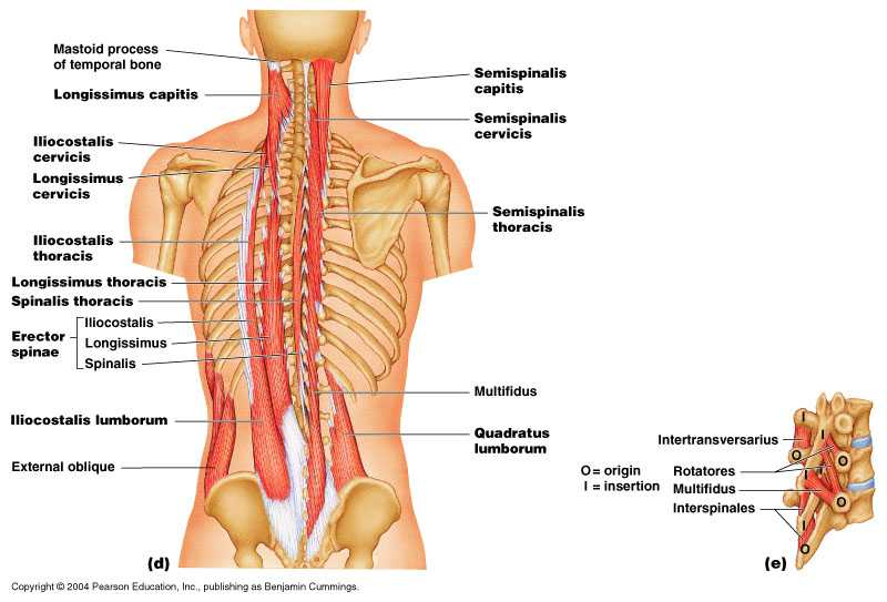 Muscoli paravertebrali lombari: esercizi per rinforzarli