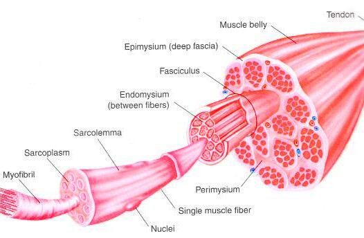 La scossa elettrica che ravviva il muscolo