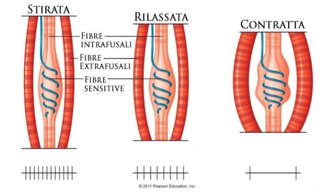 Contrattura muscolare coscia: sintomi e rimedi